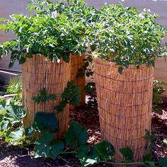 Best looking way to grow potatoes.