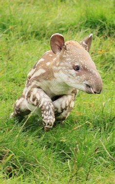Young Tapir.   Tapir are large browsing mammals that inhabit jungle and forest regions of South America, Central America, and Southeast Asia. There are four species of tapirs and all four are classified as endangered or vulnerable.   (info source: wiki)