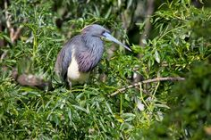 A Photo in the life of: I saw a Tricolored Heron