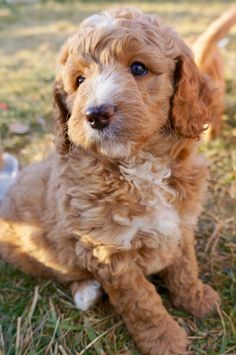 31 Best Natural Goldendoodle Puppies images in 2019