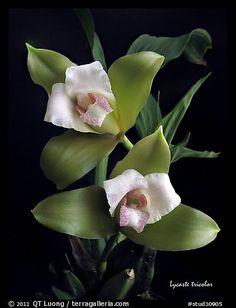 lycaste Orchid species | Home / Studio images / Orchids / Orchid Species / stud30905