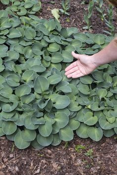 Blue Mouse Ears Hosta, Sugar Creek Gardens Plant Reference Guide