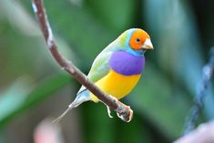 Beautiful photo of a orange-headed male Gouldian finch (dilute mutation) by David Wong