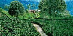 """The Coffee Cultural Landscape of Colombia was recently declared UNESCO World Heritage Landscape for its """"centennial tradition of coffee growing"""" producing the best coffee in the world. For a chance to win chance to win 8 days and 7 nights in Colombia visit: http://www.facebook.com/Maupintour"""