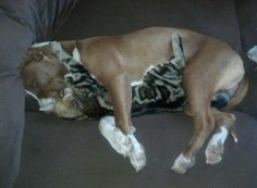 Rescued pit bull seems to be getting along well with the cat.