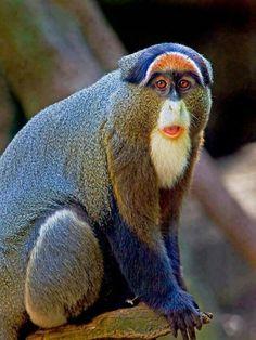 El cercopiteco de Brazza, mono obispo o guenon de pantano (Cercopithecus neglectus) La coloración del pelaje es oscura, con una mancha blanca en ambas mandíbulas, la frente rojiza y una larga barba blanca.3 Presenta un marcado dimorfismo sexual. El cuerpo incluida la cabeza, tiene una longitud de unos 40 cm en las hembras y de hasta 60 cm en los machos y su cola mide entre 48 y 67 cm de largo. En promedio las hembras pesan 4,5 y los machos 7 kg.