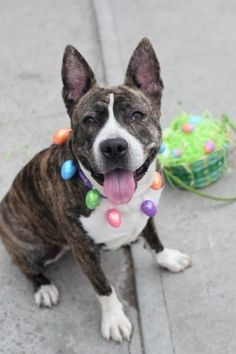 "SUPER URGENT – LOVELY STRAY GIRL RETURNED FROM FOSTER. NOW IN MANHATTAN SHELTER 07/12/16 – Average home ☆ BEANY is 2 years old spayed female, cross between a Pit Bull/Ger. Shepherd, and the result is mighty beautiful. ""She is friendly, sociable and compliant little gal. I enjoyed my time with her and hope this gorgeous young girl will find a wonderful family."" ♥ I HAVE A BIG SMILE. I LOVE LIFE! MY NEW OWNERS, I'LL LOVE YOU UNCONDITIONALLY ♥ http://nycdogs.urgentpodr.org/beany-a1064615/"