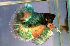 If you want to know how to take care of Betta fish, this article will help you get started and get rid of some of the most common misconceptions that people have about these fish. Pretty Fish, Beautiful Fish, Colorful Fish, Tropical Fish, Neon Tetra, Betta Fish Types, Beta Fish, Siamese Fighting Fish, Underwater Creatures