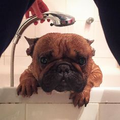 """""""I'm TRAPPED!"""", Mr Gizmo is OVER his Bath today! French Bulldog, #Gentlefrenchie #bathtime"""