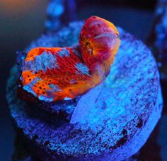 Rainbow Coral - Find incredible deals on Rainbow Coral and Rainbow Coral accessories. Let us show you how to save money on Rainbow Coral NOW! Coral Frags, Live Coral, Chalice Coral, Marine Photography, Coral Accessories, Nano Cube, Marine Fish Tanks, Reef Tanks, Salt And Water