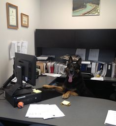 P1 Photo of the week: Desk job.  PSD Griffin of the Winnipeg (Can.) Police Service K-9 unit at work. The K-9 unit program is 16 weeks long, includes socialization and some desk work too! Photo by Cst. Shawn Lowry.