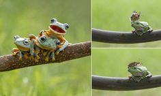 Who fancies a game of leap frog? Amphibians have fun on a tree branch  http://www.dailymail.co.uk/news/article-2931570/Who-fancies-game-leap-frog-Amphibians-fun-tree-branch.html