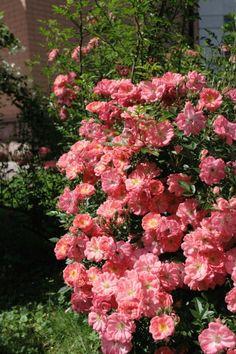 'Ferdy' (Suzuki, 1984; S, h= 1.0-1.5), роза для Золушки - невозможно сосчитать цветки