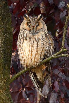 Long-eared Owls (Asio otus)    Autumn Owl by thrumyeye