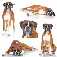 A #Boxer photo collage dedicated to all of you who love this breed  Find more cute #pups to pin by clicking on this picture