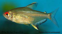 "Hyphessobrycon pulchripinnis ""Lemon Tetra"""