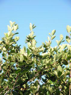 アロニア果実は緑色、お空は青色ですの。 #札幌 2012年7月7日撮影