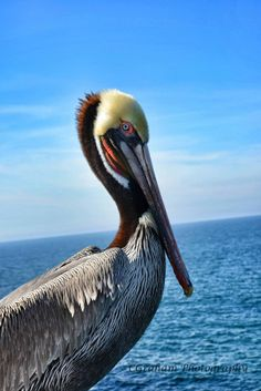 Poseable Pelican by Cindy Graham on 500px