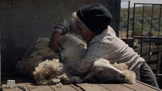 tosquia de ovelha no filme Volta à Terra