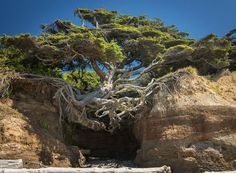 Tree Of Life - Olympic National Park, Washington