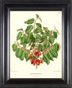 BOTANICAL PRINT FRUIT Wendel 8x10 Botanical Art by FleurDeNature, $10.00