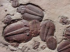 Name: Elrathia kingii . Trilobite Order Ptychopariida, Family Ptychoparioidea Locality: House Range, Millard County, Utah Stratigraphy: Middle Cambrian, Wheeler Formation Remarks: Mass mortality