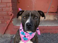 TO BE DESTROYED - 05/20/14 Brooklyn Center -P  My name is SPRINKLES. My Animal ID # is A0999252. I am a female bl brindle and white am pit bull ter mix. The shelter thinks I am about 1 YEAR   I came in the shelter as a STRAY on 05/09/2014 from NY 11208, owner surrender reason stated was STRAY. https://www.facebook.com/photo.php?fbid=802354739777407&set=a.611290788883804.1073741851.152876678058553&type=3&theater