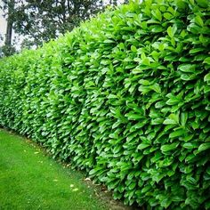 Cherry English Laurel Mature Hedge | Fast growing | Some claim zone 5 hardiness