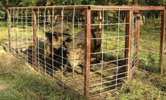 The How-To's about building Box Traps to catch feral hogs. Advantages, disadvantages, designs, regulations, placement, etc.