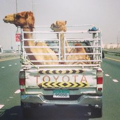 Only in Dubai, Camels on the highway...