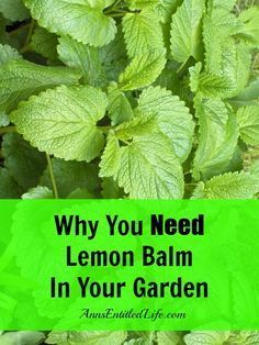 Why You Need Lemon Balm In Your Garden. There are many uses for lemon balm. It's a mosquito repellent, you can use it as a rinse aid in your laundry, make tea with it, use it for aromatherapy, make soap or conditioner with it, and much, much more. Click link for more information. Lemon Balm is a Perennial. Plant lemon balm in a pot as it will spread (and take over your garden).