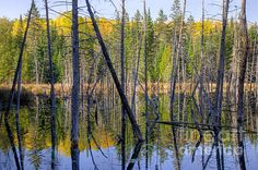 A Moment For Reflection. A beaver swamp in Quebec with dead trees and reflections of fall colours. Fine Art Photography      http://rob-huntley.artistwebsites.com      © Rob Huntley