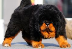 Tibetan Mastiff This fluffy dog may look like a cuddler, but the breed is actually used regularly for protection. They are are incredibly smart and loyal to their owners and will do anything to keep them safe.