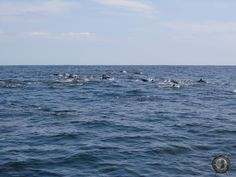 a pod of dolphin off the coast of tamarindo costa rica seen on a sport fishing trip