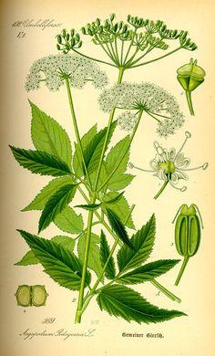 Gemeiner Giersch - Flora von Deutschland Österreich und der Schweiz (1885)