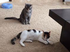 Ramses watching Tari play days before she had her kittens.