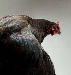 gallina vecchia...