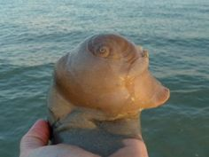 live Shark's Eye Neverita duplicata (Say), beach, Sanibel Island