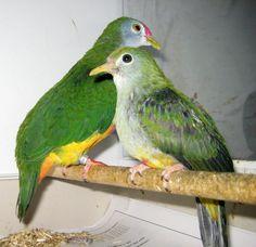 Ptilinopus pulchellus Karmijnkap vruchtenduif.