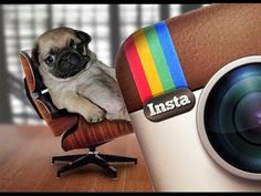 Instagram Pug Videos Compilation | Funny Dogs & Pugs are Awesome - http://showatchall.com/animal/instagram-pug-videos-compilation-funny-dogs-pugs-are-awesome/