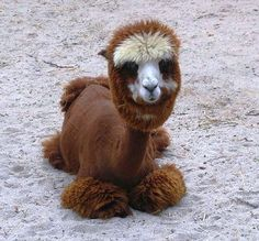 rare animal looks like a camel thats flfuy