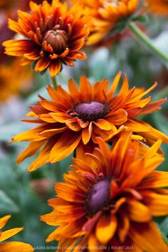 Gloriosa Daisies (Rudbeckia hirta) 'Cherokee Sunset' ~~ These are a type of Black eyed Susan, and are perennials. They spread quickly and in no time you can move them into other areas of your garden.