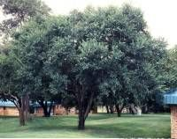 Berchemia Zeyheri Tree Red/ Pink Ivory Rooi-ivoor/Rooihout 10 m S A no 450 Golden Rain Tree, African Tree, Evergreen Trees, Red Fruit, Types Of Soil, Trees To Plant, Red And Pink, Shrubs