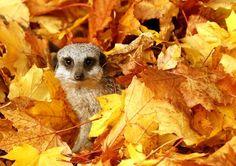 Cute meerkat surrounded by leaves!
