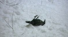 """LOL!!! Awesome Video and don't We ALL love rollin' around in the Snow....??? Wouldn't it be interesting if the Ravens made """"Snow Angels""""......??? Wild Ravens Frolic in Snow Like Children (Video)"""