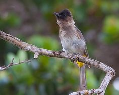 Tuta-negra / Dark-capped bulbul | Flickr - Photo Sharing!