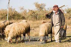 Shepherd and sheep of the Negev Desert in Israel