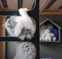 Chaton mignon bicolore bleu et blanc en pleine séance d'escalade. British longhair du Clos d'Eugénie (élevage de chat british shorthair et british longhair). Mannequin Lynn et photo Vanessa Pouzet. British Cat, kitten british