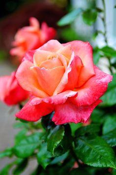Hybrid Tea Rose. June Birth Flower