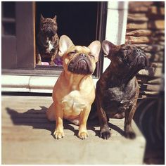 Soaking up the sunshine! Aaaah! I'm not a breed person, but I'm falling in love with French Bulldogs lol